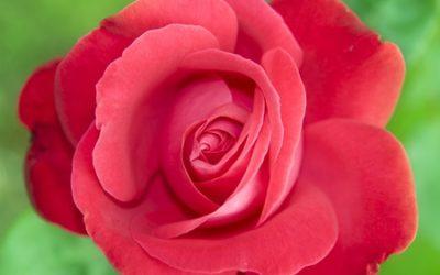 """""""My Wild Irish Rose,"""" An Irish Love Song – by Michael Daly, Irish tenor"""